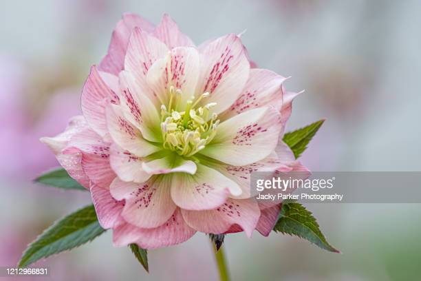 close-up image of the spring flowering, pink hellebore flower also known as the lenten or christmas rose - ヘレボルス ストックフォトと画像