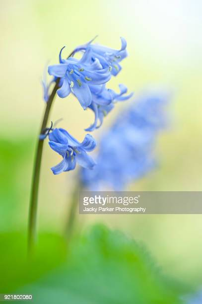 Close-up image of the spring flowering Spanish Bluebell flowers also known as Hyacinthoides hispanica