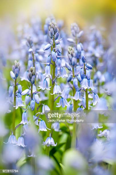 close-up image of the spring flowering spanish bluebell flowers also known as  hyacinthoides hispanica - bluebell stock pictures, royalty-free photos & images