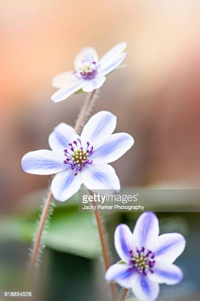 Close-up image of the spring flowering, tiny purple flowers of Hepatica 'Kanzan'