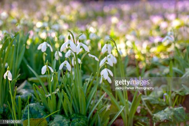 close-up image of the spring flowering white, common snowdrop flowers also known as galanthus nivalis - snowdrop stock pictures, royalty-free photos & images