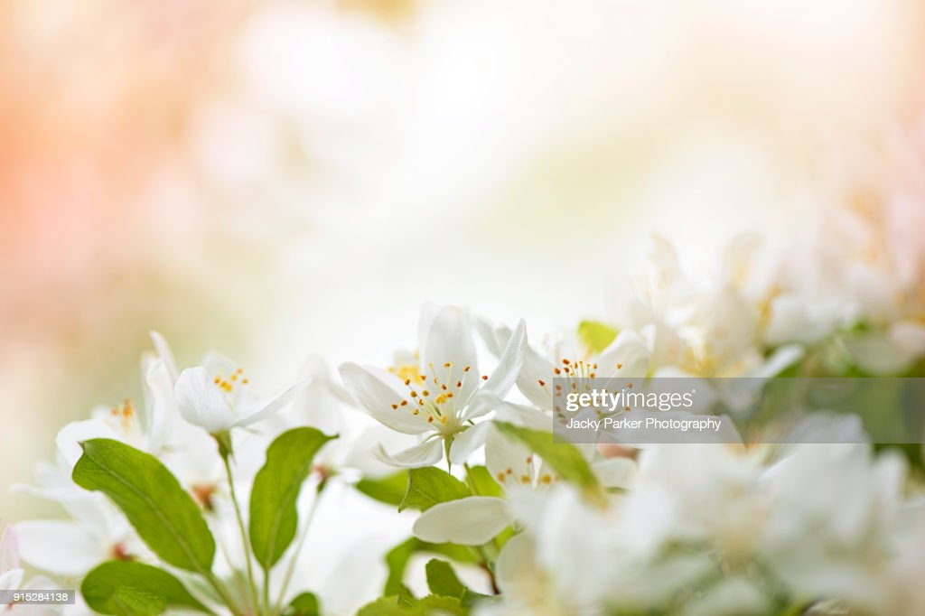 Close-up image of the spring, white Crab Apple Blossom : ストックフォト