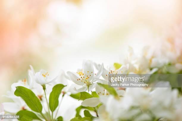close-up image of the spring, white crab apple blossom - セレクティブフォーカス ストックフォトと画像