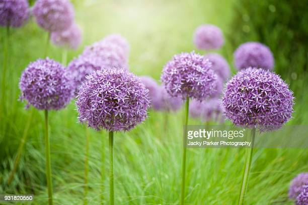 Close-up image of the summer flowering bulbous perennial purple Allium flowers in hazy sunshine