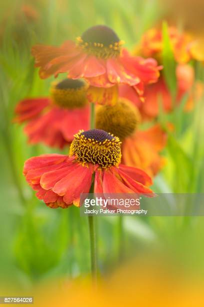 Close-up image of the summer flowering orange Helenium flowers also known as Sneezeweed, image taken against a soft background.