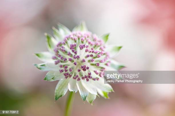 Close-up image of the summer flowering perennial flower of Astrantia major also known as Masterwort