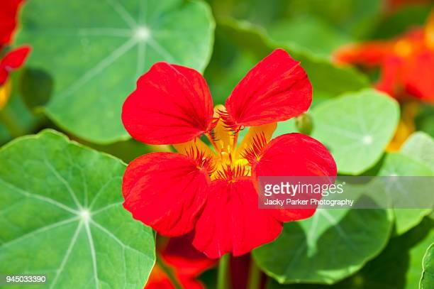 close-up image of the summer flowering, vibrant red nasturtium 'crimson emperor' - nasturtium stock pictures, royalty-free photos & images