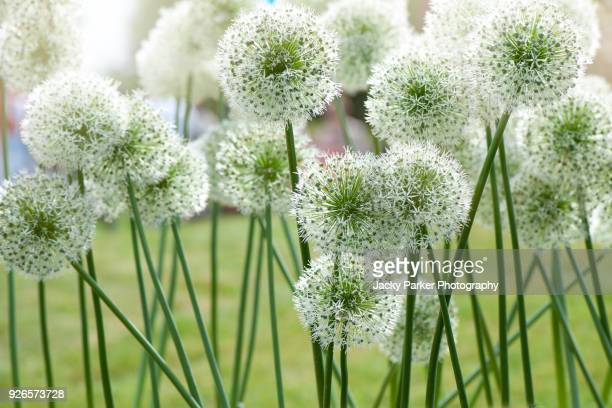 Close-up image of the summer flowering white globes of Allium stipitatum Mount Everest an ornamental bulbous perennial plant