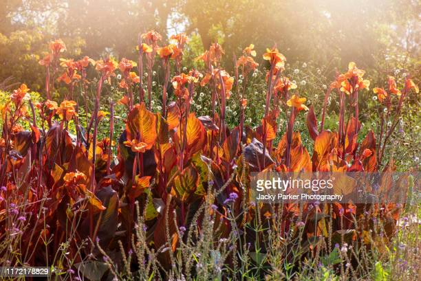 close-up image of the tall architectural orange flowers of canna tropicanna - indian shot plant - canna lily stock pictures, royalty-free photos & images