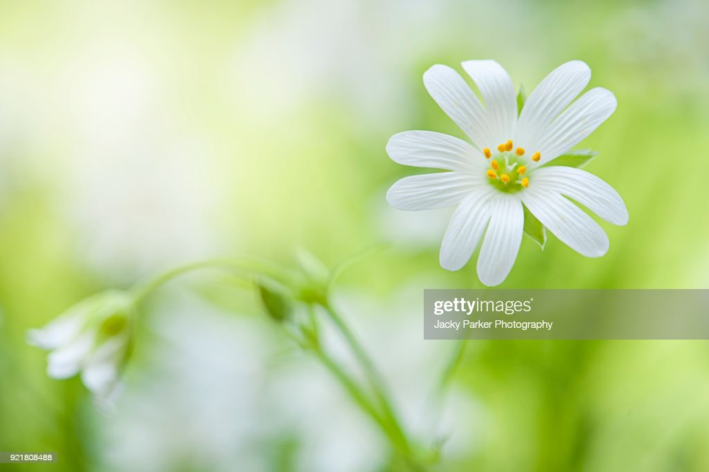 Closeup image of the tiny white spring flowers of stellaria holostea close up image of the tiny white spring flowers of stellaria holostea the addersmeat mightylinksfo
