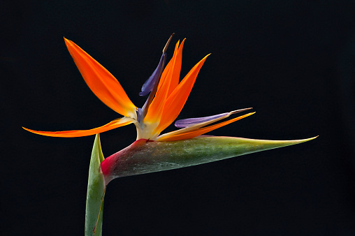 close-up image of the vibrant Bird of paradise flower also known as Strelitzia reginae, in South Africa it is commonly known as a crane flower - gettyimageskorea