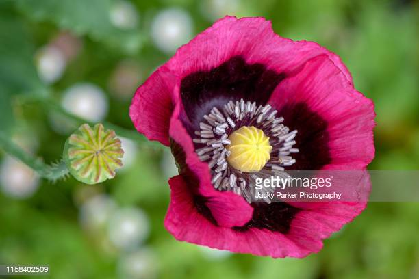 close-up image of the vibrant deep pink, summer flowering opium poppy also known as papaver somniferum - oppio foto e immagini stock