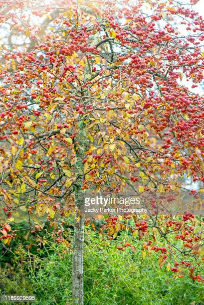 close-up image of the vibrant winter red berries of the crab apple tree malus evereste - crab apple tree stock pictures, royalty-free photos & images