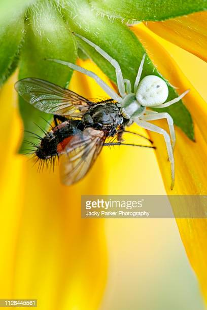 Close-up image of the white crab spider (Misumena vatia) ambushing a garden fly on a yellow summer flowering coneflower or Black-eyed Susan flower