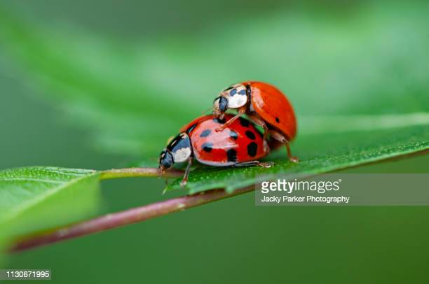 close-up image of two harmonia axyridis, most commonly known as the harlequin, multicolored asian, or simply asian ladybeetle mating on a green leaf - sex stock photos and pictures