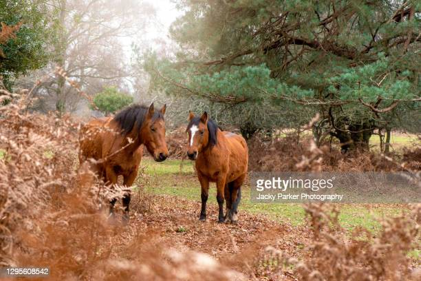 close-up image of two new forest ponies amongst the winter bracken in the new forest, hampshire england - horse stock pictures, royalty-free photos & images