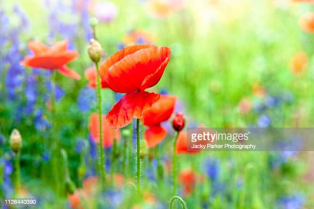 close-up image of vibrant red, summer flowering poppy flowers in a wildflower meadow - memorial day background stock pictures, royalty-free photos & images