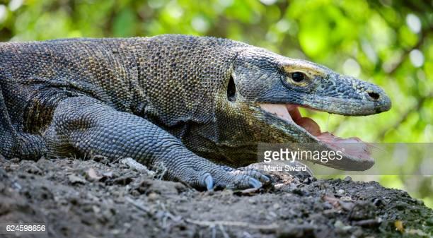 close-up komodo dragon, rinca island, komodo national park, indonesia - komodo dragon stock pictures, royalty-free photos & images