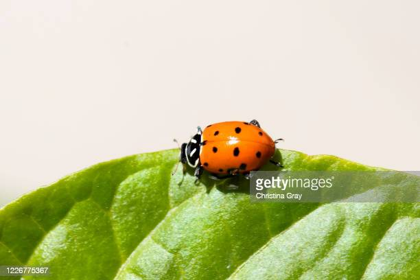 close-up ladybug - aphid stock pictures, royalty-free photos & images