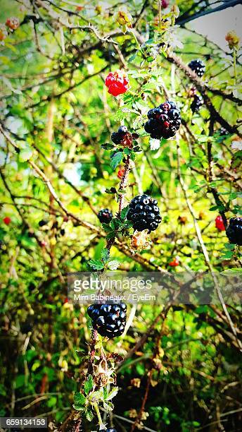 Close-Up Low Angle View Of Berries Hanging On Tree