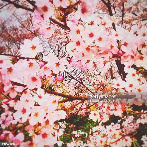 close-up low angle view of flower tree - asuka stock pictures, royalty-free photos & images