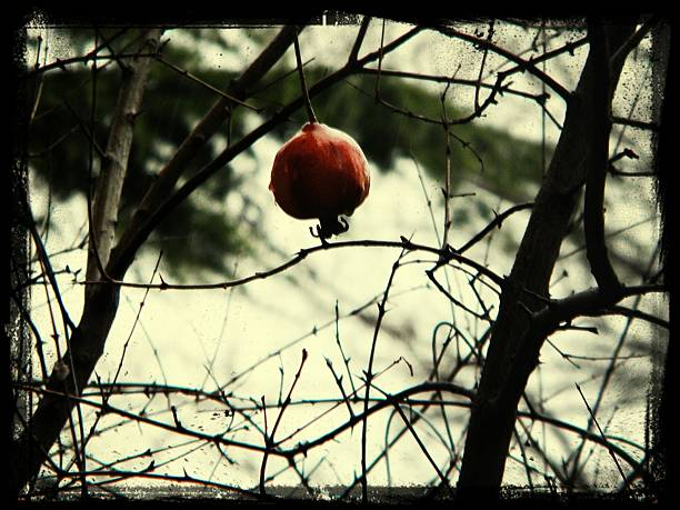 close-up low angle view of pomegranate hanging on tree - pomegranate tree stock photos and pictures