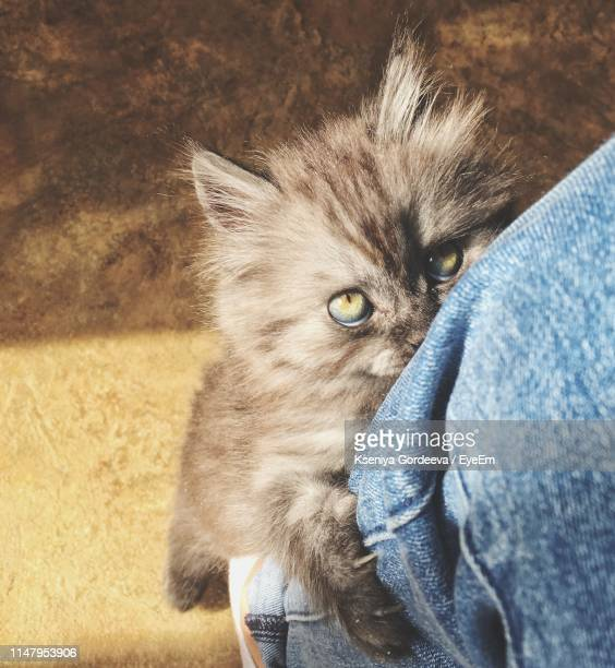 close-up low section of person with gray hairy kitten at home - gray pants ストックフォトと画像