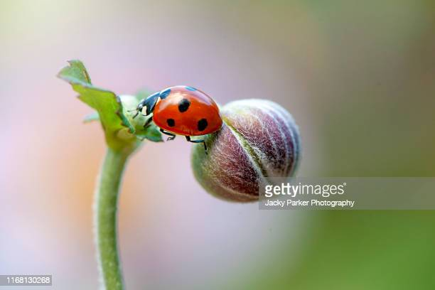 close-up, macro image of a 7-spot ladybird, ladybug, ladybeetle coccinella septempunctata on the bud of a japanese anemone flower - seven spot ladybird stock pictures, royalty-free photos & images