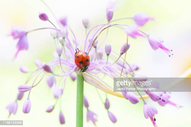 close-up, macro image of a 7-spot ladybird, ladybug, ladybeetle coccinella septempunctata on a purple allium pulchellum also known as keeled garlic or witch's garlic - allium flower stock pictures, royalty-free photos & images