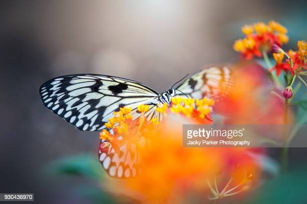 close-up macro image of a black and white swallowtail butterfly with opened wings - farfalla a coda di rondine foto e immagini stock