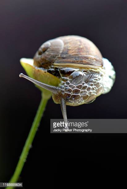 close-up, macro image of a cornu aspersum, known by the common name garden snail with bubbles of slime - animal behaviour stock pictures, royalty-free photos & images