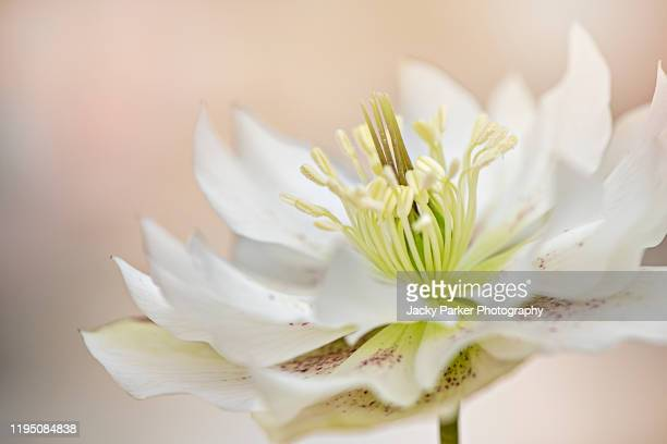 close-up, macro image of a white hellebore spring flower also known as the christmas rose or lenten rose - ヘレボルス ストックフォトと画像
