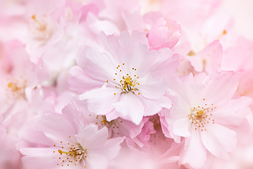 Close-up, macro image of pretty pink, spring Cherry Blossom Flowers - gettyimageskorea
