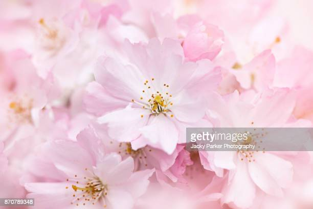 Close-up, macro image of pretty pink, spring Cherry Blossom Flowers