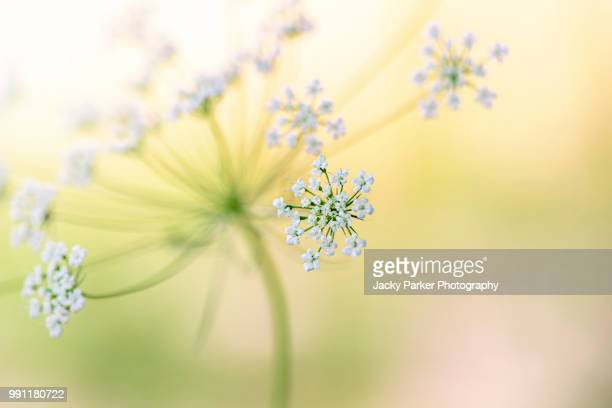 Close-up macro image of the beautiful summer flowering white Queen Anne's Lace flowers also known as Ammi Majus.