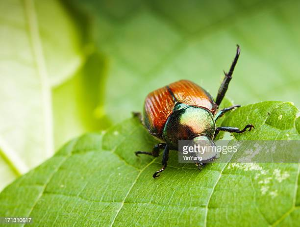 close-up macro of a japanese beetle feeding on leaves hz - beetle stock pictures, royalty-free photos & images