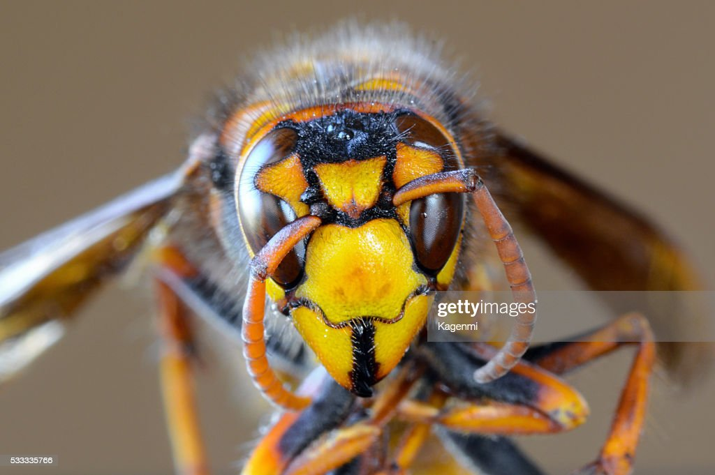 Closeup macro of Japanese giant hornet face : Stock Photo