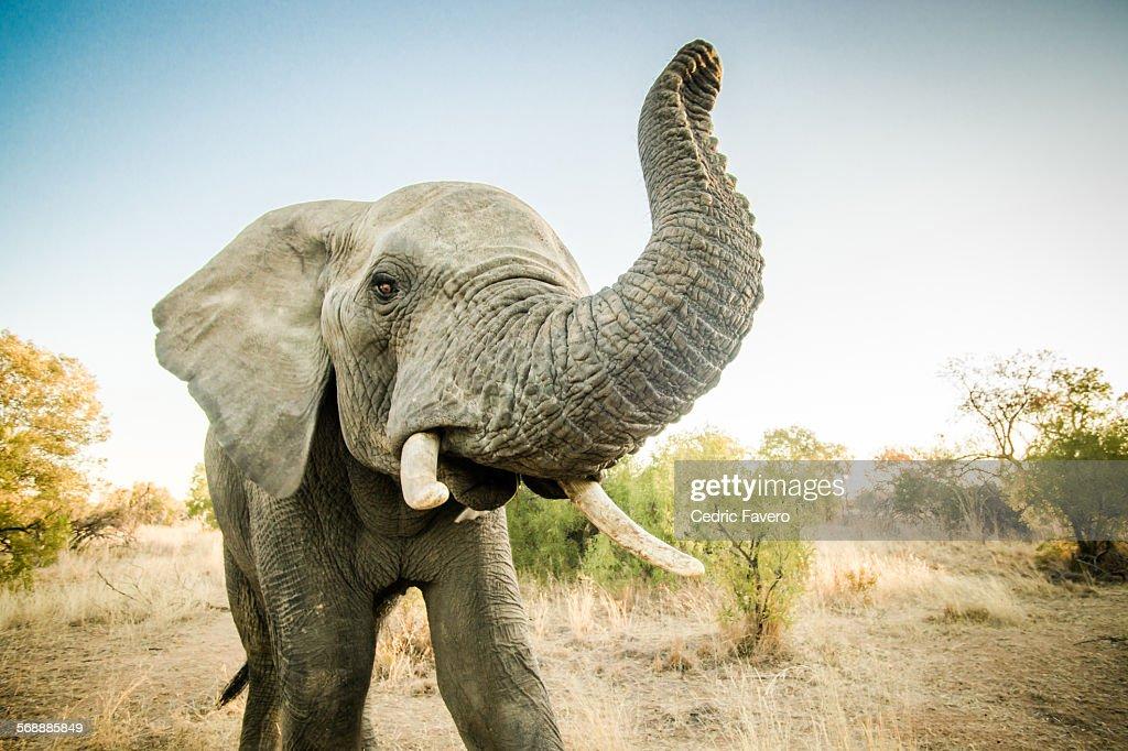 Closeup Male Elephant : Stock Photo
