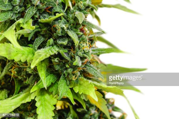 Close-up medical marijuana plant with bud