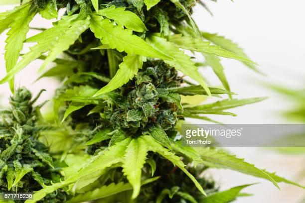 Close-up medical marijuana plant with bud