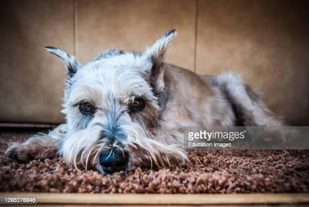Close-up Miniature Schnauzer Dog Portrait.