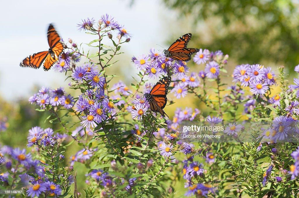Monarch Magic Series : Stock-Foto