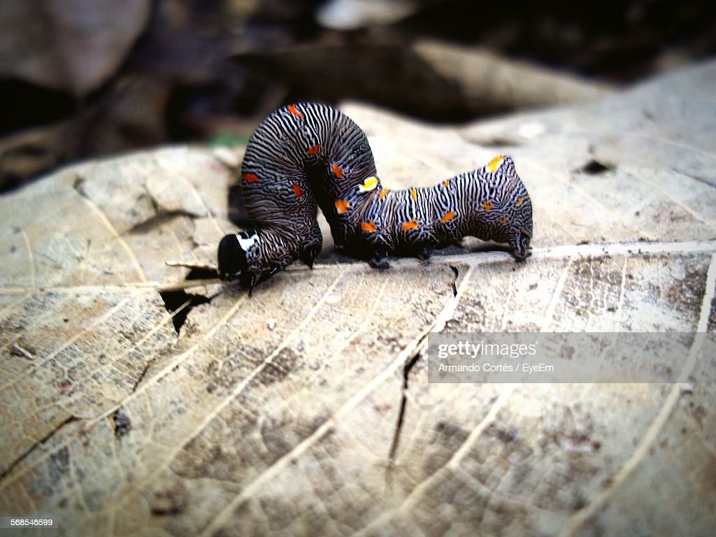 Close-Up Multi Colored Caterpillar On Dry Leaf : Stock Photo