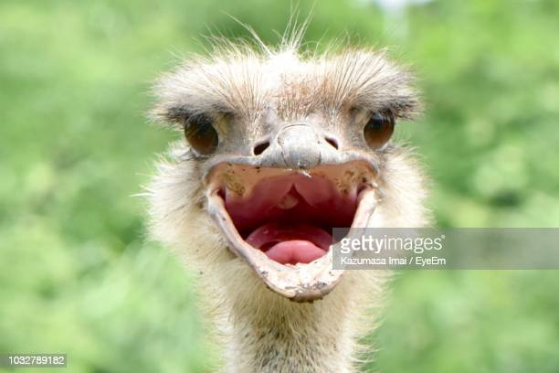 close-up of 0strich with open mouth - ostrich stock pictures, royalty-free photos & images
