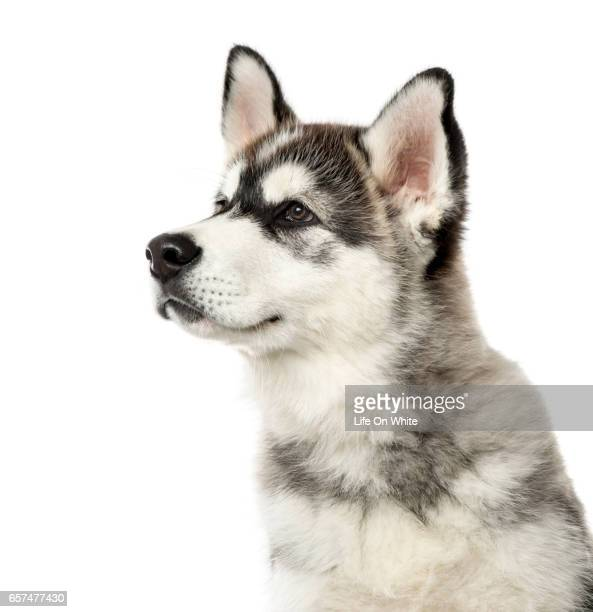 close-up of a alaskan malamute puppy, 3 months old , isolated on white - malamute stock pictures, royalty-free photos & images