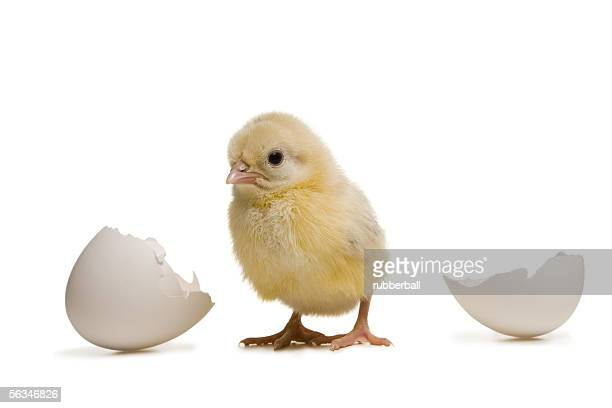 Close-up of a baby chicken with a broken egg