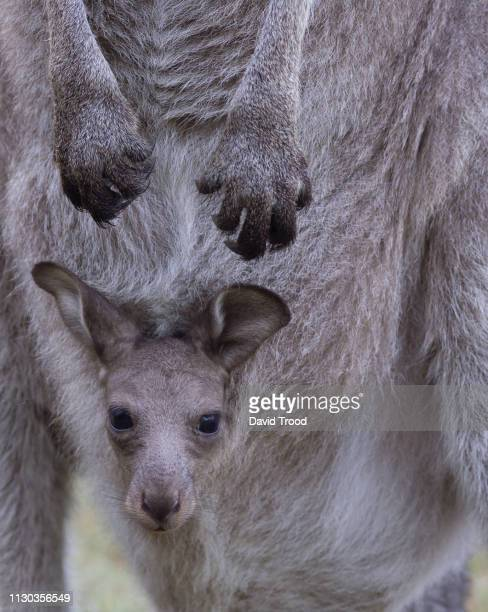 close-up of a baby kangaroo - marsupial imagens e fotografias de stock