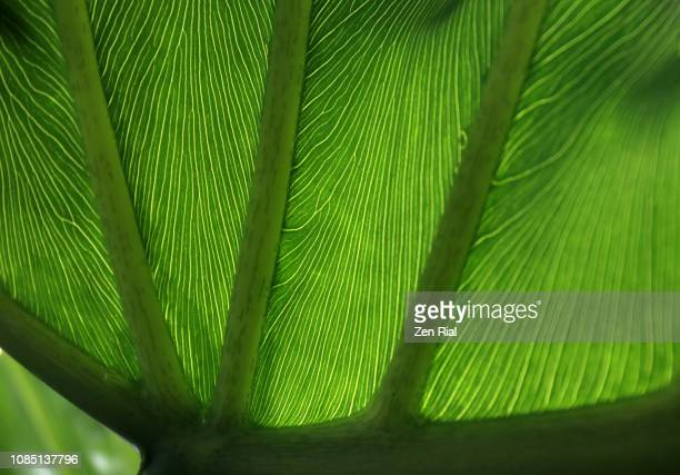 close-up of a backlit tropical leaf showing leaf veins - florida nature stock pictures, royalty-free photos & images