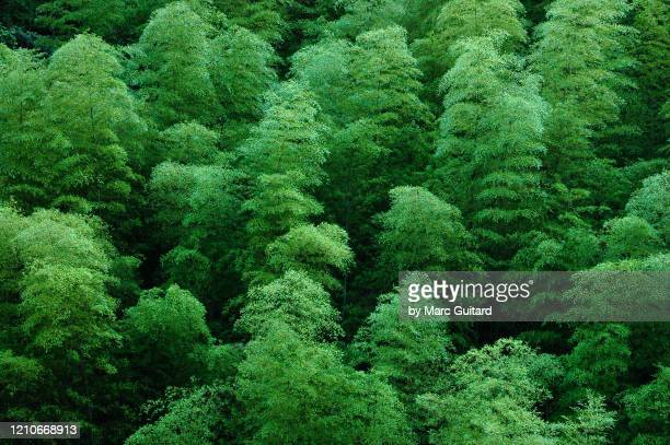 closeup of a bamboo forest canopy, huangshan, china - canopy stock pictures, royalty-free photos & images