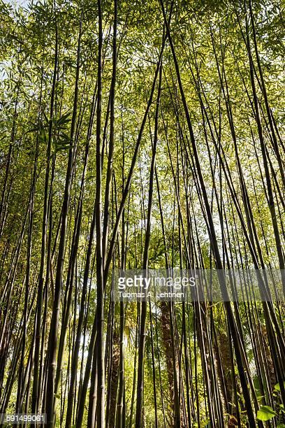 closeup of a bamboo forest - arboreto foto e immagini stock